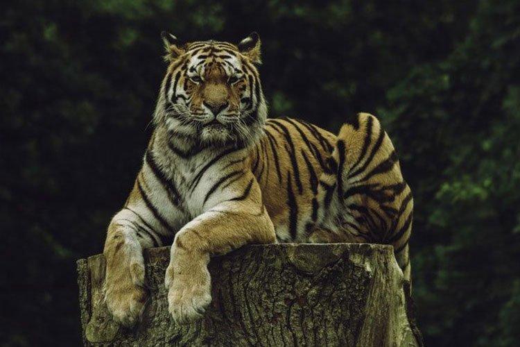 tiger glaring at the screen