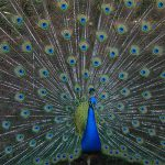 Peacock Essay in English for School Kids & Students